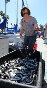Local volunteer Corinne Bennett pitched in for the fish cleanup in RB King Harbor Marina Wednesday morning. Photo by Brad Graverson 3-