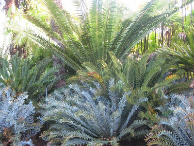Here is a a small sample of Loran Whitelocks's cycad collection at his Glendale home. (Joshua Siskin/Los Angeles Daily News)