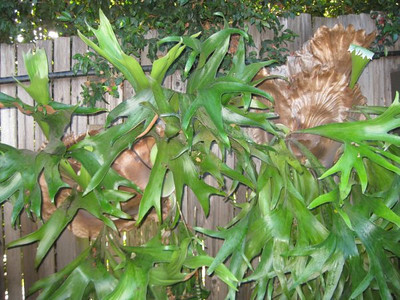 Staghorn ferns (Platycerium sp.) growing on a wooden fence and  irrigated by spaghetti tubing (Joshua Siskin/Los Angeles Daily News)