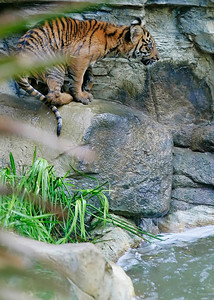 One of three new tiger cubs tries to figure out a way to get a drink of water from a pool below the water fall in it's living habitat at the Los Angeles Zoo in Griffith Park, CA, on Friday, October 12, 2007. John Lazar / L.A. Daily News Staff Photographer
