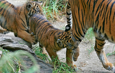 A mother tiger plays with two of her three new cubs as they chase and swing their paws at her rear leg during morning play-time at the Los Angeles Zoo in Griffith Park, CA, on Friday, October 12, 2007. John Lazar / L.A. Daily News Staff Photographer