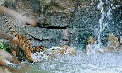 One of three new tiger cubs falls in the water as it tries to figure out a way to get a drink of water from a pool below the water fall in it's living habitat at the Los Angeles Zoo in Griffith Park, CA, on Friday, October 12, 2007. John Lazar / L.A. Daily News Staff Photographer