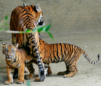 A mother tiger plays with her three new tiger cubs at the Los Angeles Zoo in Griffith Park, CA, on Friday, October 12, 2007. John Lazar / L.A. Daily News Staff Photographer