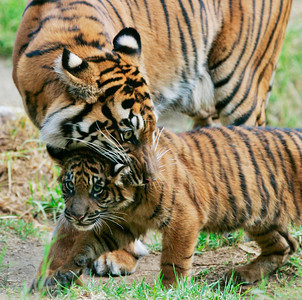 A mother tiger picks up her one of her three new cubs by the neck as she plays with the three new tiger cubs at the Los Angeles Zoo in Griffith Park, CA, on Friday, October 12, 2007.  John Lazar / L.A. Daily News Staff Photographer