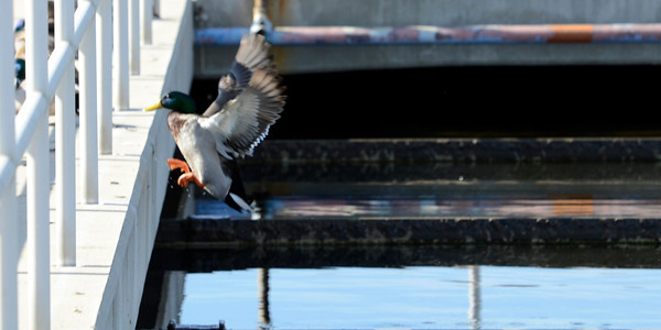 A duck makes use of a treatment tank at the Tillman Water Reclamation Plant in Van Nuys. (Hans Gutknecht/Staff Photographer