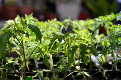 Tomato plants for sale at the LA County Arboretum and Botanical Garden in Arcadia, CA. (Hans Gutknecht/Staff Photographer)