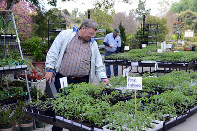 James Fitzpatrick, N Hollywood, looks at tomato plants before buying them at the LA County Arboretum and Botanical Garden in Arcadia, CA. (Hans Gutknecht/Staff Photographer)