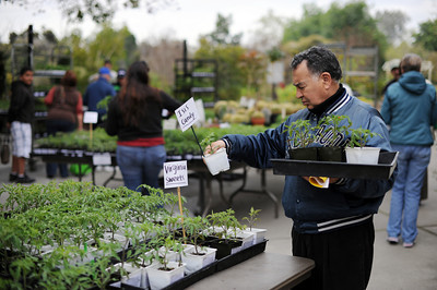 Boualem Bousseloub, Pasadena, looks at tomato plants before buying them at the LA County Arboretum and Botanical Garden in Arcadia, CA. (Hans Gutknecht/Staff Photographer)