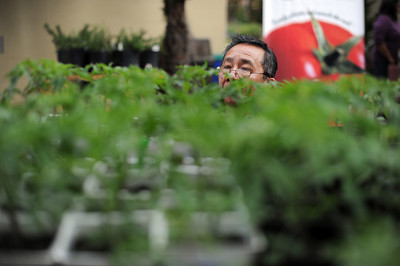 Jose Malabanan gets a close look at tomato plants for sell at the LA County Arboretum and Botanical Garden in Arcadia, CA. (Hans Gutknecht/Staff Photographer)
