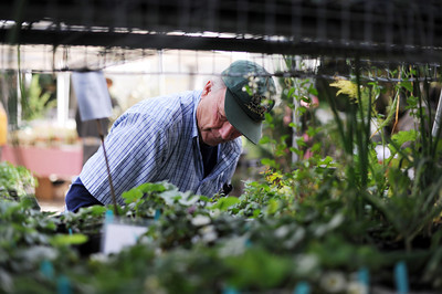 Volunteer Bill Rubly arranges tomato plants at the LA County Arboretum and Botanical Garden in Arcadia, CA. (Hans Gutknecht/Staff Photographer)