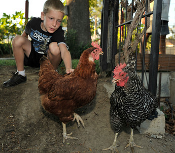 Zack Childers,8, plays with chickens in his back yard. Robert Childers and his kids have four chickens in thier backyard that provide the family with entertainment, and fresh eggs. Northridge, Ca 7-19-2011. (John McCoy/Staff Photographer)