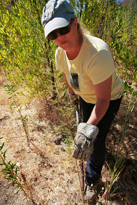 Community Hiking Club's Dianne Erskine-Hellrigel (CQ) digs up scattered thin nonnative Tamarisk shrubs which hide themselves among other native plants from a riverbed near Mentryville in Newhall, CA, on Friday, Aug. 31, 2007 which can each soak up as mach as 300 gallons of water each day. A group of volunteers will gather Saturday Sept. 8, 2007 to clean up much as much of these shrubs from nearby riverbeds. (John Lazar/L.A. Daily News Staff Photographer)