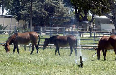 DN08-AV-WATERHORSES