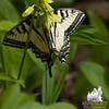 Eastern Tiger Swallowtail (Papilio glaucus) on Clintonia (Clintonia borealis)<br /> May 29, 2010