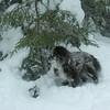Faithful dog follows master on another failed winter attempt for South Kinsman.<br /> January 7, 2010