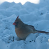 Mrs. Cardinal likes to take her meals under the feeder... January 17, 2011