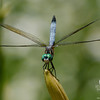 Blue Dasher (Pachydiplax longipennis) July 15, 2011.