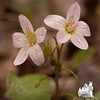More Spring Beauty (Claytonia caroliniana) today on the magic floodplain... April 26, 2011.