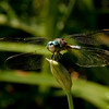 Blue Dasher (Pachydiplax longipennis) August 17, 2011.