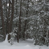 Snowy hemlocks near home... January 18, 2011
