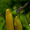 Female Blue Dasher (Pachydiplax longipennis)... July 2, 2012.