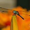 Blue Dasher (Pachydiplax longipennis on Tiger Lily (Hemerocallis fulva))... July 17, 2012.