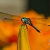Blue Dasher (Pachydiplax longipennis on Tiger Lily (Hemerocallis fulva))... July 17, 2012.