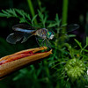 Blue Dasher (Pachydiplax longipennis)... July 8, 2012.