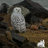 Snowy Owl (Nyctea scandiaca) January 13, 2012.