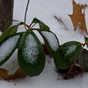 "Wintergreen ""Checkerberry, Teaberry"" (Gaultheria procumbens)... December 29, 2012."