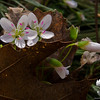 Spring Beauty (Claytonia caroliniana)... April 11, 2012.