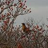American Robin (Turdus migratorius) January 5, 2012.