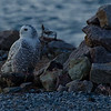 Snowy Owl (Nyctea scandiaca) January 18, 2012.