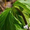 Nodding Trillium (Trillium cernuum)...  April 26, 2012.