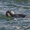 Harbor Seal (Phoca vitulina) in Salisbury… December 30, 2013.