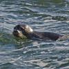 Harbor Seal (Phoca vitulina) in Salisbury… December 30, 2013.