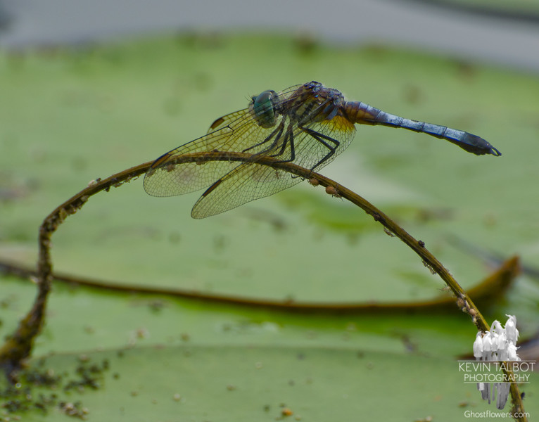 Blue Dasher (Pachydiplax longipennis)... August 8, 2013.