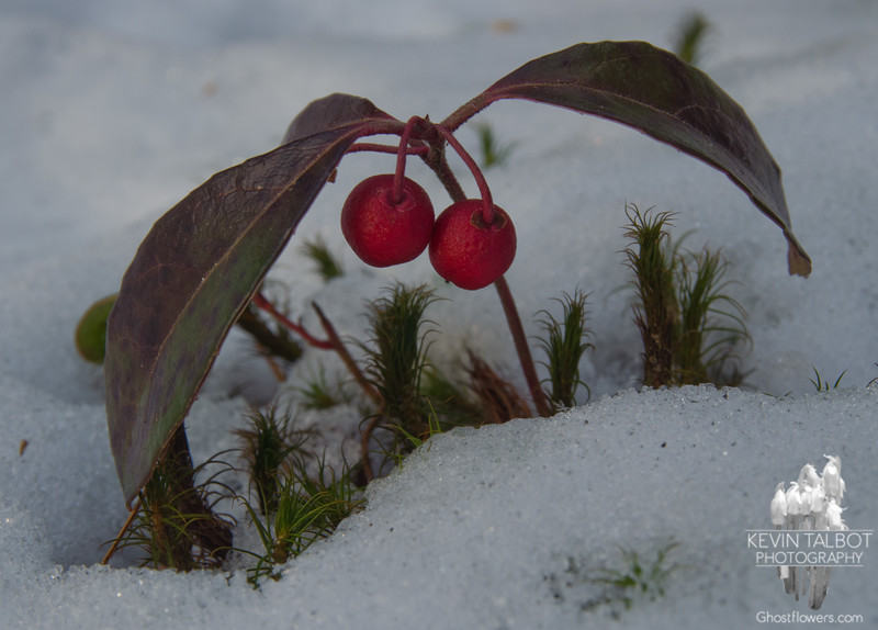 Wintergreen-Checkerberry-Teaberry (Gaultheria procumbens)… December 13, 2013.