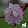 Rain on Cherry Blossom... April 23, 2013.