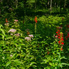 Cardinal Flower (Lobelia cardinalis) and Joe Pye Weed (Eupatoriadelphus maculatus) along the Lamprey River... August 16, 2013.
