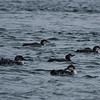 Wintering Loons (Common Loon Gavia immer) at Salisbury... February 23, 2013.
