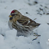 Common Redpoll (Carduelis flammea)... January 2, 2013.