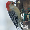 Red Bellied Woodpecker (Centurus carolinus)... January 17, 2013.