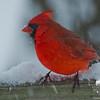 Cardinal (Cardinalis cardinalis)... January 16, 2013.