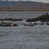 Today in Salisbury- Harbor Seal (Phoca vitulina)… October 26, 2013.