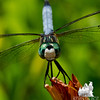 Male Blue Dasher (Pachydiplax longipennis)... July 6, 2013.