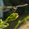 Blue Dasher (Pachydiplax longipennis)... July 15, 2013.