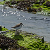 Least Sandpiper (Calidris minutilla)... September 9, 2013.