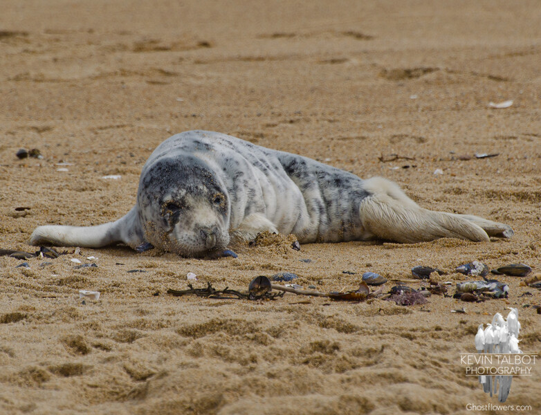 Gray Seal (Halichoerus grypus)... March 21, 2013.