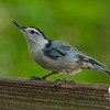 White-breasted Nuthatch (Sitta carolinensis)... August 3, 2013.